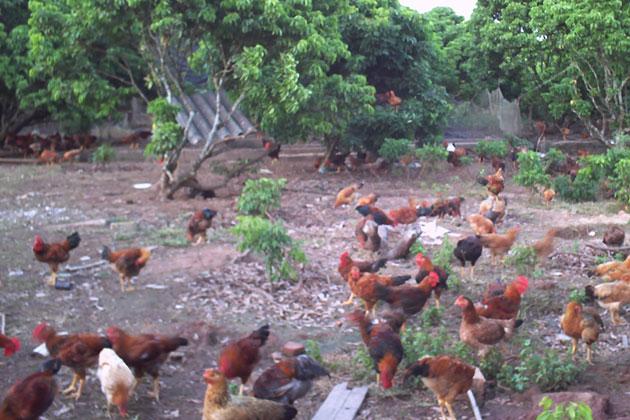 Gà ta thả vườn nuôi để lấy trứng